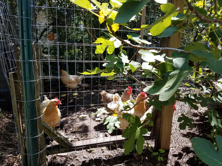 Ocracoke Island Figs and Chickens