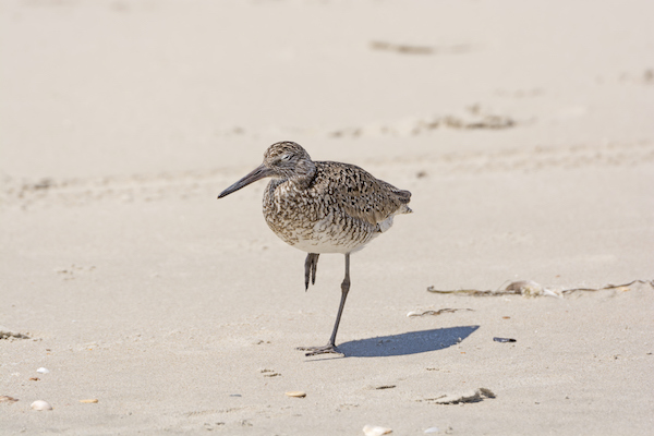 Birding on Ocracoke Island